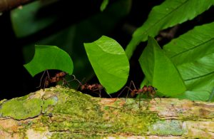 There are 3 leaf cutter ants on a branch, each of them carrying a leaf. The are working together and bringing the leafs back to their ant colony.